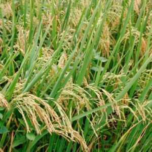 Behind the Scenes: A Look at Guyana's History of Rice Cultivation